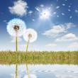 Schöne Landschaft mit Pusteblumen