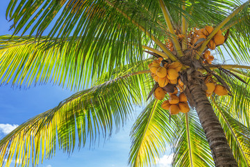 Bottom-up view of a tall palm tree with lots ripe coconuts, and