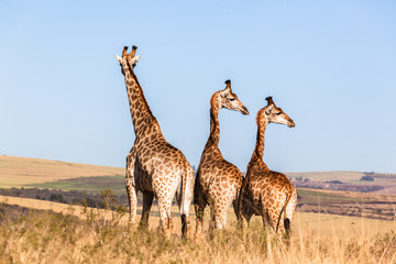 Three Giraffes Blue Sky Wildlife Animals