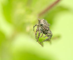 Jumping spider - Sitticus pubescens