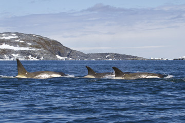 Flock orcas or killer whales swimming along the Antarctic Island