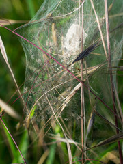 Spiders nest with hatchlings just emerging - nature spring birth