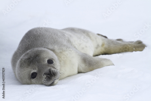 Foto op Aluminium Antarctica Weddell seal pups which lies on the ice of Antarctica