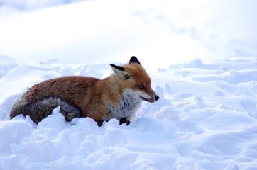Volpe seduta sulla neve primo piano