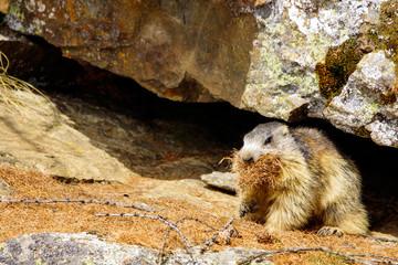 Marmotta mangia erba