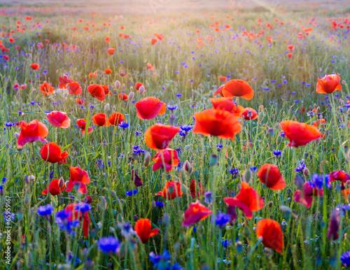 Polne maki pośród traw i kwiatów polnych