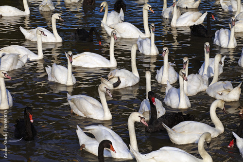 many swan and water