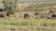 Blue wildebeest with calves walking in a row, Kalahari desert