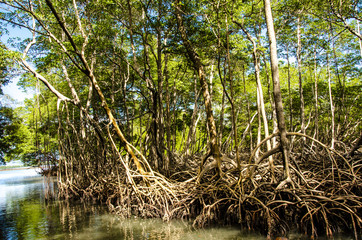 Mangroves in the Caribbean