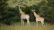 Giraffe family in natural habitat