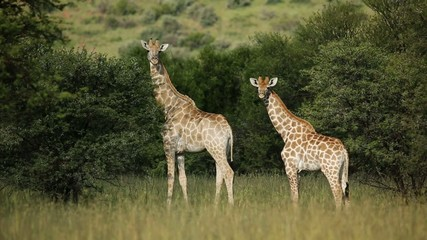 Giraffe family in natural habitat