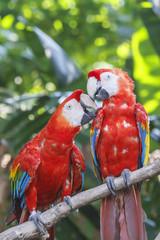 Pair of Scarlet Macaw birds
