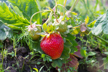 strawberry in field
