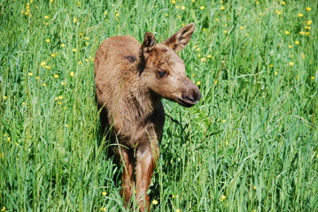 Elk calf in a summer meadow Sweden Wildlife