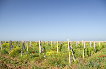 Vineyards against clear blue skys.