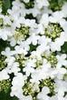 canvas print picture - Hortensienblüte