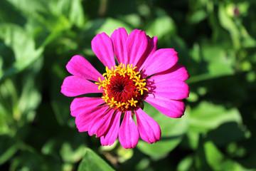zinnia zed beautiful flower