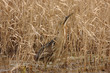 tarabuso ardeide uccello di palude