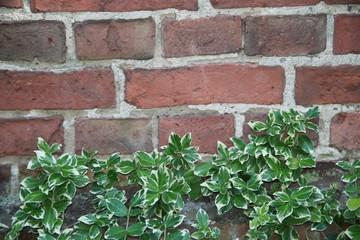 Grüne Kletterpflanze an Mauer aus Ziegelsteinen