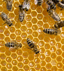 bees on honeycells