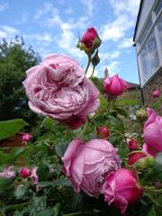 Roses - Spirit of Freedom