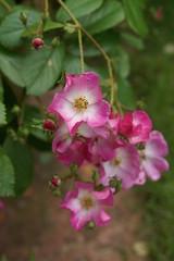 Pink rambler rose