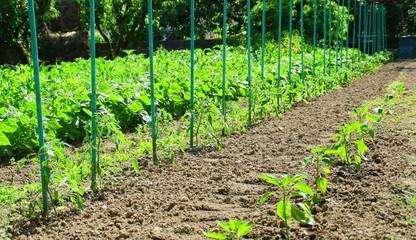pieds de tomates, jardin, culture
