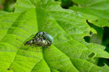weevil sex / Rüsselkäferpaarung