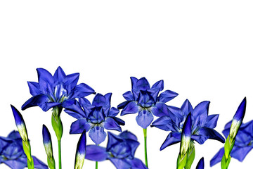iris blue flowers on a white background