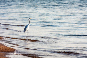 Great white egret in the sea