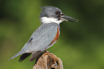 Belted Kingfisher Female