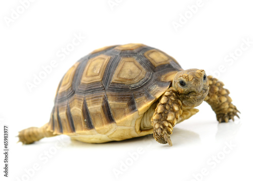 Leinwanddruck Bild turtle on white background