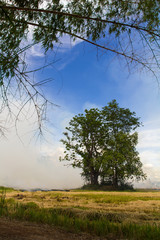 Smoke from burning rice stubble near trees and bamboo