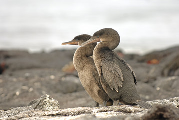 Pair of Flightless Cormorants, Galapagos Islands, Ecuador