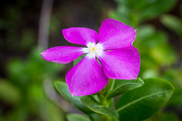 Purple Catharanthus Roseus