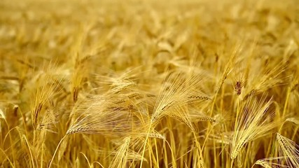 Yellow wheat field.