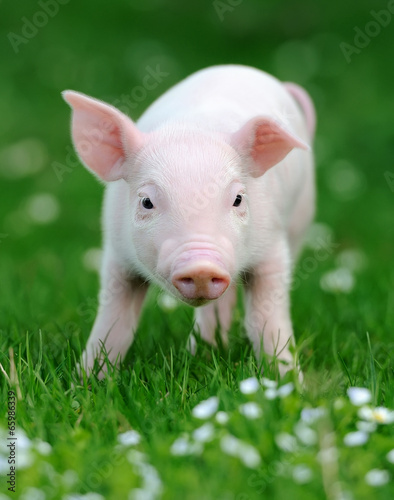 Young pig in grass - 65986339
