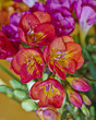 vibrant colrored freesia flowers closeup