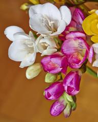 vibrant colrored freesia flowers closeup