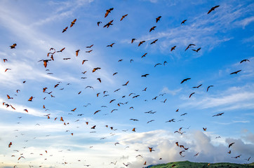 Flying foxes on the background of mangroves. Indonesia. Komodo