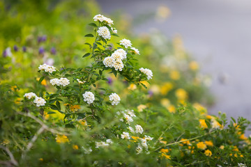 white and yellow lantana camara  flower