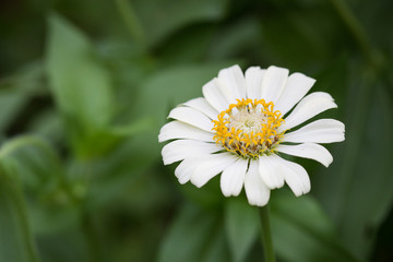 white zinnia flower