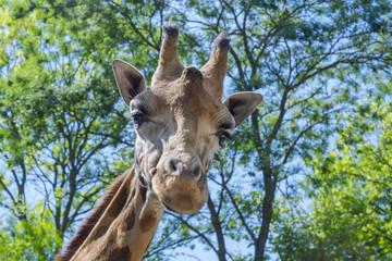 Baringo giraffe (Giraffa camelopardalis rotschildi)
