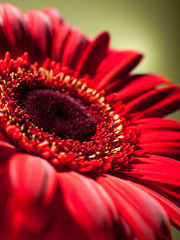 Closeup red gerbera.