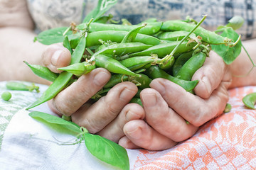 Green peas in hands