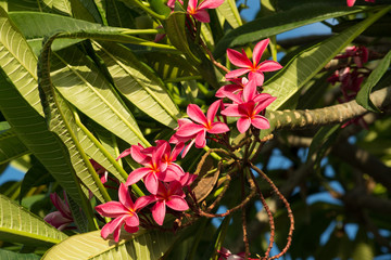 red frangipani flowers with leaves