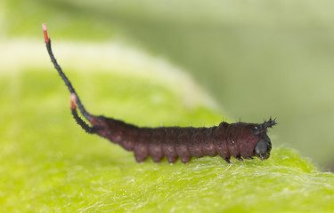 Very young just newly hatched Puss moth larva