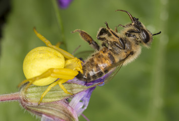 Goldenrod crab spider, Misumena vatia with bee