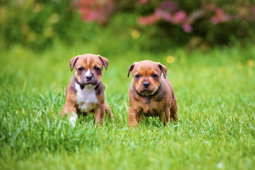 two staffordshire bull terrier puppies
