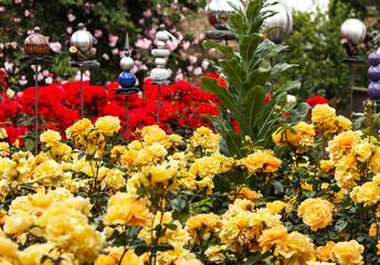Gelbe und rote Rosen in Eltville am Rhein